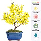 "Brussel's Live Forsythia Outdoor Bonsai Tree - 3 Years Old; 6"" to 10"" Tall with Decorative Container"