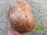 Loss Promotion! Sweet Potato seeds, Batata Mameya by Prorganics 20pcs