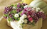 Dianthus chinensis Carnation Sweet William Heirloom Heddewig Rainbow