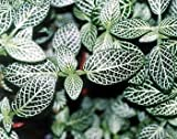 """Silver Nerve Plant - Fittonia verschaffeltii - 4""""ceramic Pot color-red unique from-jmbamboo"""