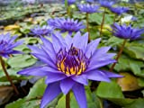 Purple Tropical Water Lily - Water Garden Live Pond Plant