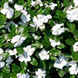 Outsidepride White Vinca Periwinkle Ground Cover Plant Seed - 2000 Seeds