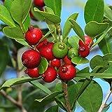 PSIDIUM LITTORALE - YELLOW STRAWBERRY GUAVA - PLANT - APPROX 12-20 INCH