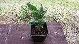 "6""-10"" Ice Cream Bean Plant Tree Seedling Inga Edula from Hawaii"