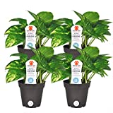Costa Farms 3.8ANGELPOTH4PK Exotic Angel Pothos Live Indoor Plant, 4-Pack, 4-Inch