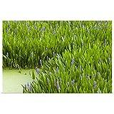 "Great Big Canvas Poster Print Entitled Pickerelweed Colony, Aquatic Perennial herb with Creeping Rhizome, Florida 24""x16"""