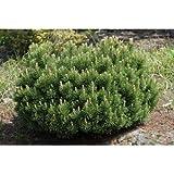 10 Dwarf Swiss Mountain Pine Seeds - Pinus Mugo var Mughus