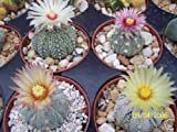 Astrophytum asterias super kabuto MIX rare variety cacti cactus seed 100 SEEDS