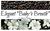 Flower Seeds - Elegant Baby's Breath - Gypsophila elegans - Annual - Liliana's Garden