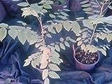 "9EzTropical - Tropical Gooseberry - Phyllanthus acidus - Cay Chum Ruot - 8"" to 1 Feet Tall - Ship in 4"" Pot"