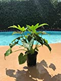 """Split-leaf Philodendron - Philodendron Selloum - Philodendron Bipinnatifidum Live Plant 4"""" Container Easy to Grow Houseplant"""