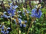 P090X01. 1 Plant of Salvia uliginosa Bog Sage