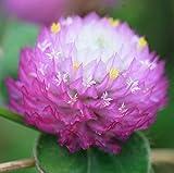 100 gram Seeds Globe Amaranth Gomphrena Globosa Gnome Pink Flower