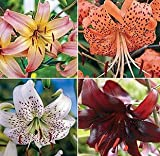 Pretty Flowering Hybrid Tiger Lily Mix (2) Blooming Size Bulbs Plant Now Ready to Ship Now