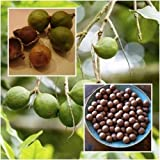 Macadamia Seeds Grow Nuts Heirloom Seeds Rare Tropical Plant Tree From Thai