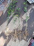 Trifoliate Orange (Poncirus trifoliata) One 2 year old plant