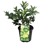 "Persian Lime Tree - Fruit Bearing Size -8"" Pot-NO Ship to TX, FL, AZ, CA, LA, HI"