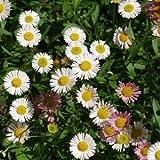 Erigeron karvinskianus Santa Barbara Daisy 2,000 seeds