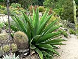 AGAVE Gentryi 15 SEEDS
