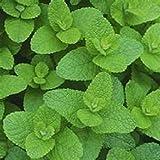 Flavorful Apple Mint Herb Starter Plant