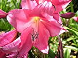 Crinum Lily, Magenta Lady, JUMBO, blooming-size bulb