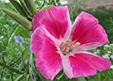 Godetia is a flowering plant in my garden .: Clarkia amoena