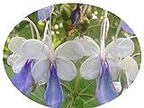 BLUE BUTTERFLY Bush Tropical Live Plant Clerodendrum Ugandense Unique Unusual Shaped Flower Starter Size Emeralds TM