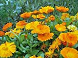 Calendula 100+ Seeds Organic Newly Harvested, Beautiful Vivid Golden Blooms