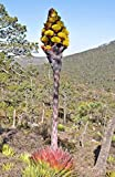 Agave montana | Hardy Century Plant | Mountain-Agave | 10_Seeds