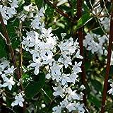 Potseed - Deutzia Gracilis Seeds