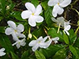 PINWHEEL CREPE CRAPE False Jasmine Live Plant Shrub Tabernaemontana Lightly Fragrant White Flower Starter Size 4 Inch Pot Emerald tm