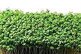 "Rare Organic Herb seeds Cress Salad ""Ajur"" (Lepidium sativum) - 300 Seeds."