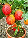 HOO PRODUCTS - 20 pcs/bag red lemon tree also is Blood Orange Organic fruit seeds bonsai red lime seeds healthy food home garden plant pot Hot Sale!
