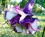 Double Lavender Angels Trumpet 6 Seeds Datura