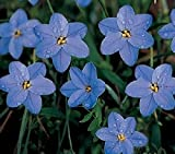 Ipheion - uniflorum 'Rolf Fiedler' - Spring Star Flower - Shipping(25 Bulbs)