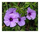 Ipomoea cairica - Morning Glory - 50 Seeds