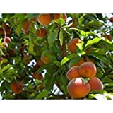 7 Seeds Dwarf Nemaguard Peach Fruit Tree