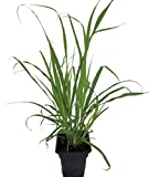 Lemon Grass Herb Plant - Cymbopogon - Also Repels Mosquitoes - Quart Pot