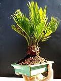 Cycas revoluta Bonsai / Japanese sago palm
