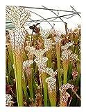 Sarracenia leucophylla typical - white pitcher plant - 5 seeds