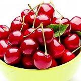 Cnlinkco Cherry Tree Seeds Shrub Seeds Prunus Cerasus Cherry-tree Edible Fruit Seeds (10 Pieces)