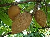Pantin (key West) Mamey Sapote Tropical Fruit Trees