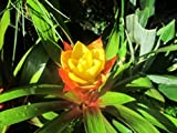 Guzmania lingulata known as scarlet star is a species of flowering plant.: Bromeliad