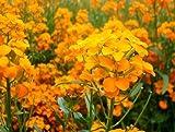 The Dirty Gardener Erysimum Siberian Wallflower Flowers - 1,600 Seeds