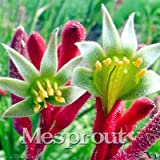 Seeds Shopp 20PCS Rare Kangaroo Paw Seeds,Rare Plant Seeds,Bonsai flower Seeds,Natural Growth,Plant For home Garden