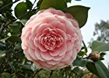 Pink camellia seeds sementes de flores 50pcs/bag camellia japonica flower seeds bonsai ornamental plant for flower pots planters Seeds