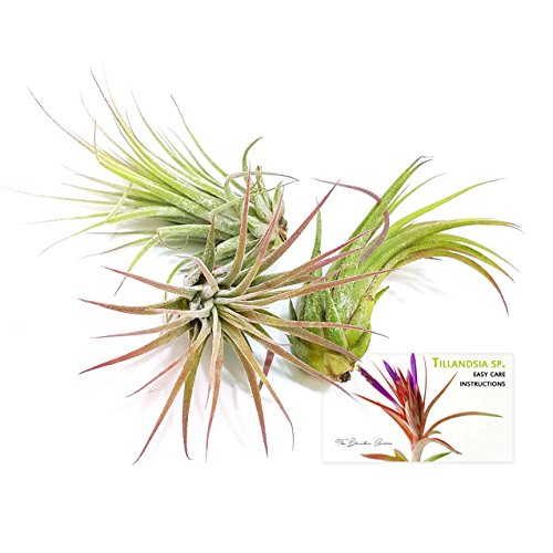 The Drunken Gnome Air Plants Ionantha Rubra Easy Care Air Purifying