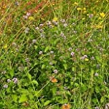 Wildflower - Water Mint - 2000 Seeds