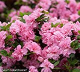 Double Pink Bloom-A-Thon Reblooming Azalea - Live Plant - Quart Pot
