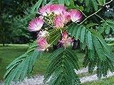Live Plants Silk Mimosa Trees Fragrant Pink Flowering Albizia